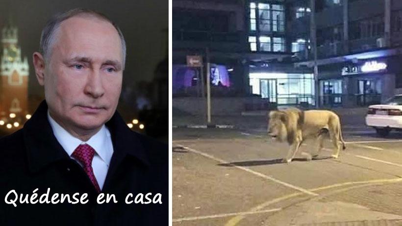 Esto es todo lo que sabemos de Putin soltando leones en las calles de Rusia